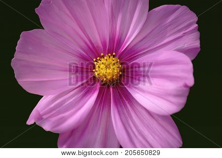A Cosmea flower in top view in front of a homogeneous background.