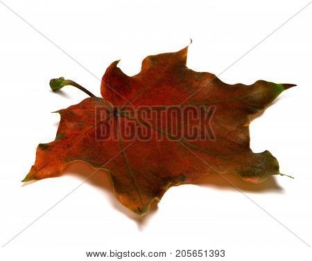 Brown Dry Autumn Maple Leaf On White