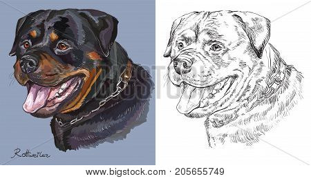 Colorful portrait of Rottweiler on blue background and black color on white background vector hand drawing illustration
