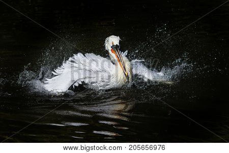 waterfowl curly white Pelican floating on the dark lake and splashes drops