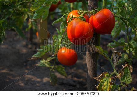 ripe tomato on a bush in the sun's rays. organic food vegetables.