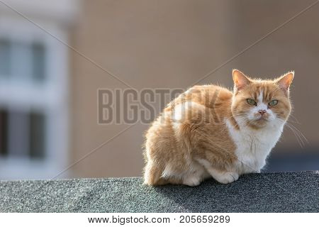Neighborhood cat. Rough angry ginger tom cat sitting outside on a town garden shed roof. Domestic cat outdoors.