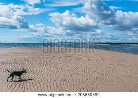 Schnauzer dog walks onto a sandbar on St. Cyrus beach.