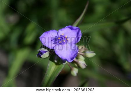 Up close of little purple flower growing in field in Mississippi.