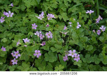Pretty little purple flowers growing in field