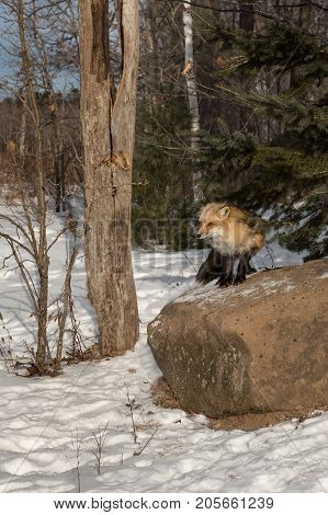 Amber Phase Red Fox (Vulpes vulpes) Stands Atop Rock - captive animal