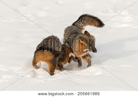 Grey Fox (Urocyon cinereoargenteus) Collides With Other - captive animals