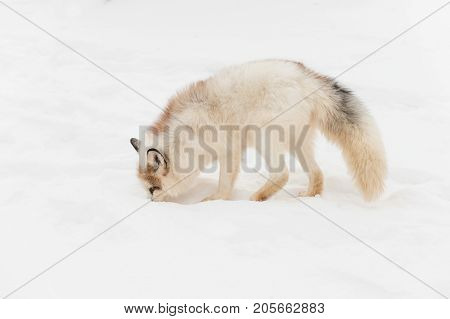 Red Marble Fox (Vulpes vulpes) Noses Left in Snow - captive animal