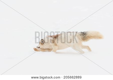 Red Marble Fox (Vulpes vulpes) Runs Left Paw Out - captive animal