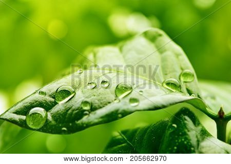 Macro. Coffee leaf. Beautiful drops of rain water on a green leaf. Drops of dew in the morning glow in the sun. Beautiful leaf texture in nature. Natural background.