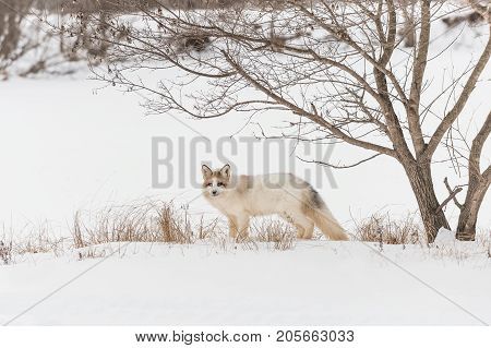 Red Marble Fox (Vulpes vulpes) Stands Under Tree - captive animal