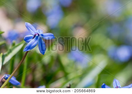 Blue Spring Flower (Scilla Siberian) with a blurred background