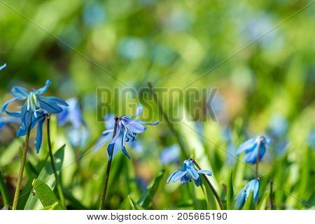 Blue Spring Flowers(Scilla Siberian) with a blurred background