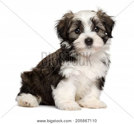 Cute silver sable havanese puppy dog is sitting and looking at camera isolated on white background