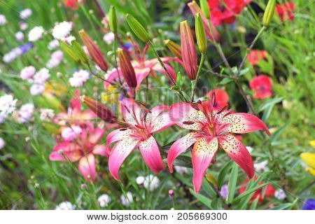 Lily and mix flowers in the flower bed. Garden flowers. Flower garden with lilies, cornflowers, poppies.