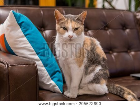 Old Cat with Evil Look sitting on leather couch