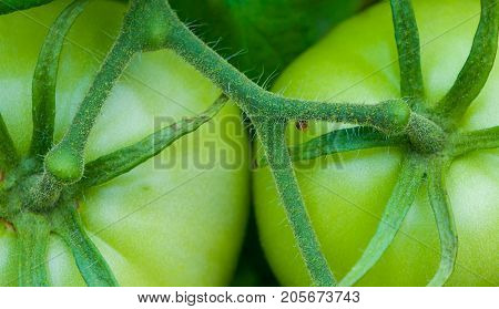 Grouping Of Green Tomatoes  Close-up