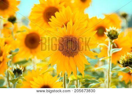 Mass Planting Of Sunflowers