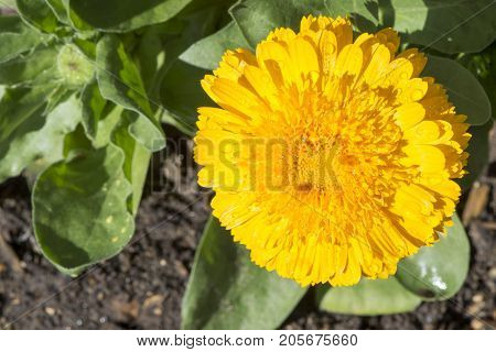 Single Yellow Calendula Officinalis, Double Cultivar