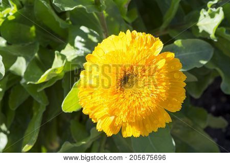 Single Double Yellow Calendula Officinalis