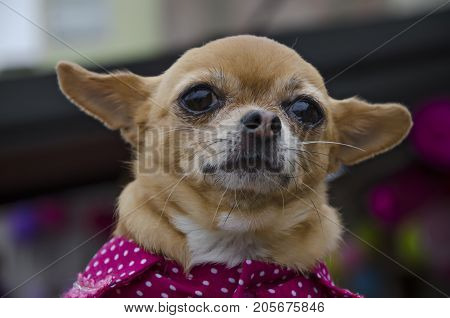 Small Chihuahua Puppy looking at infinity .