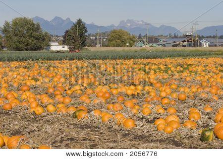 Pumpkin Farm In Cloverdale, British Columbia
