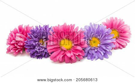 Aster flower Gardens,  Herb isolated on white background