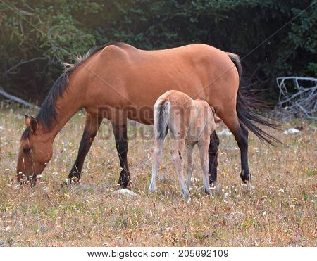 Wild Horses - Baby Foal Colt Nursing His Mother In The Pryor Mountains Wild Horse Range On The Borde