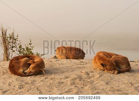 Three Orange Dogs Laying Down On The Sand. Yellow Dog Is The Chinese Zodiac Symbol Of The New Year 2