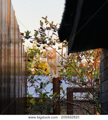 white cat sitting on a fence post of circular cross section, small diameter, flexible, plastic, good coordination, in the background a Bush with black berries