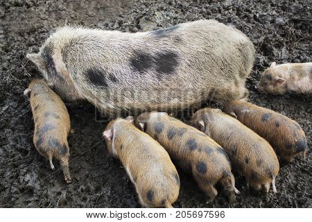 Cute spotted piglets, piglets feeding, eco farm