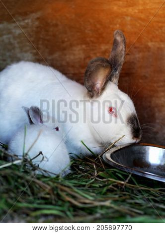 White rabbits with black ears and a black nose. Purebred rabbits grown in a home farm. the scarlet rabbit is sitting near a large rabbit.