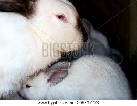 White rabbits with black ears and a black nose. Purebred rabbits grown in a home farm. Small rabbit sitting near the mother rabbit.