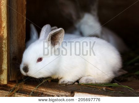White rabbits with black ears and a black nose. Purebred rabbits grown in a home farm. Small rabbit sitting on the edge of the wood cells.