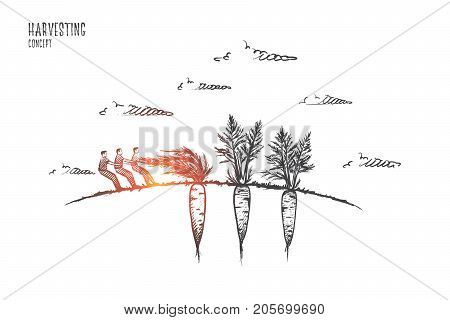 Harvesting concept. Hand drawn people harvest carrots. Ripe carrot in soil isolated vector illustration.