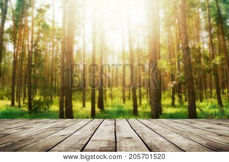 Pine forest with sunlight. Beauty nature background