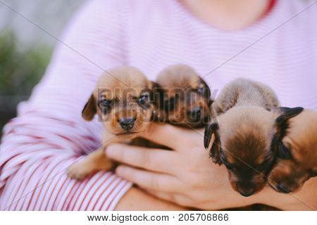 Dachshund Puppy. Dachshund Puppy Portrait Outdoors. Many Cute Dachshund Puppy Playing Outdoor. Short