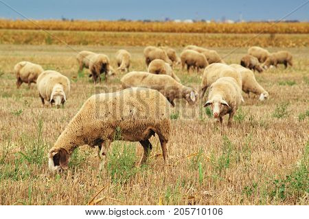 Sheep herd grazing on wheat stubble field large group of dairy farm animals in meadow
