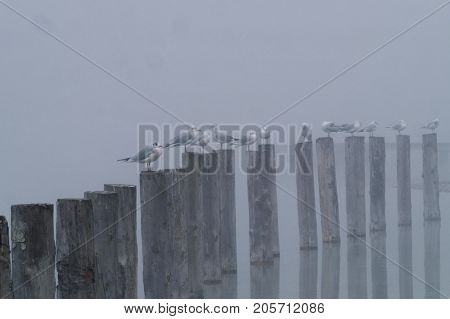 View on a group of Seabirds on wooden piles on a foggy Morning. Close-up of Seagulls on wooden piles on a misty morning at the Lake. Gulls at the Lake. Nature and Wildlife Background.
