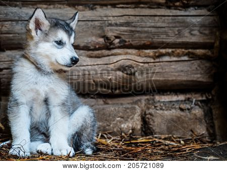 Cute Puppy Alaskan Malamute Run On Grass Garden