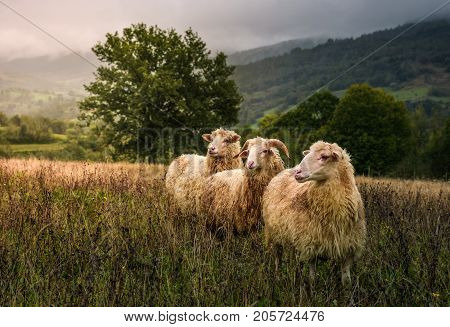 sheep grazing in a fog near old oak. beautiful scenery on rainy autumn day in mountainous rural area. three curious wet animals stand in a weathered grass looking somewhere in a distance