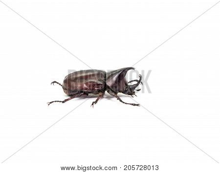 Dynastinae black body isolated on white background
