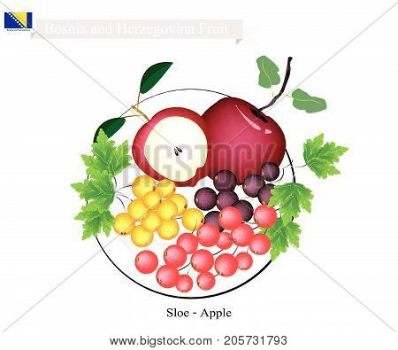 Bosnian Fruit, Illustration of Sloe or Blackthorn and Apple. The Famous Fruits of Bosnia and Herzegovina.