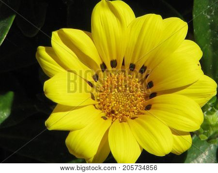 A yellow gazania, Gazania is a genus of flowering plants in the family Asteraceae, native to Southern Africa