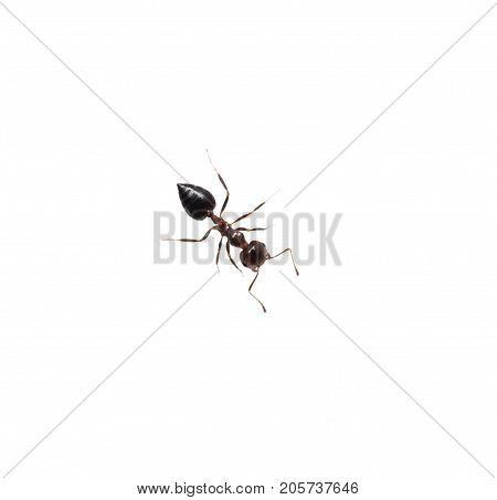 Ant isolated on white background . photo in the studio