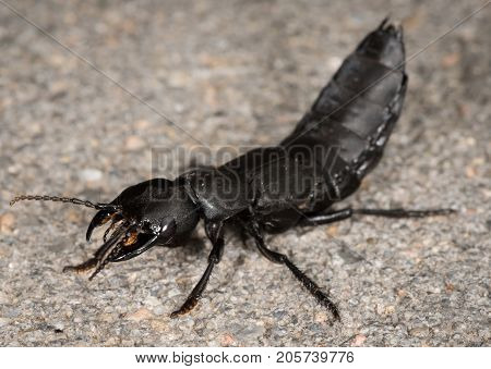 Devil's Coach Horse Beetle On A Stone Underground