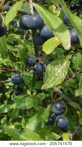 Sloes, the hedgerow flavouring fruit of the blackthorn tree