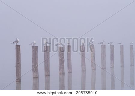 View on a group of Seabirds on wooden posts on a foggy Morning. Close-up of Seagulls on wooden posts on a misty morning at the Lake. Gulls at the Lake. Nature and Wildlife Background.