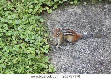 Eastern Chipmunk  (Tamius striatus) on the edge of a sidewalk.