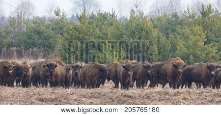 European Bison herd in snowless winter time against pine trees in morning, Bialowieza Forest, Poland, Europe